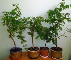 Купить семена, растение – Тамаринд индийский (Tamarindus indica)