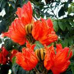 Купить семена, растение – Спатодея колокольчатая (Spathodea campanulata)