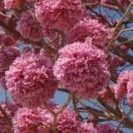Купить семена, растение – Табебуйя импетигинозная (Tabebuia impetiginosa)