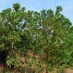 Купить семена, растение – Акация мангиум (Acacia mangium)