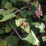 Купить семена, растение – Нейлия китайская (Neillia sinensis)