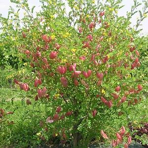Купить семена, растение – Пузырник средний (Colutea х media)