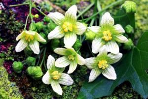 Купить семена, растение – Переступень белый (Bryonia alba)