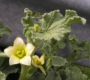 Купить семена, растение – Бешеный огурец (Ecballium elaterium)