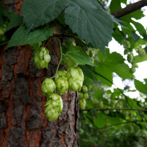 Купить семена, растение – Хмель дикий (Humulus lupulus)