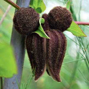 Купить семена, растение – Клематис бурый (Clematis fusca)