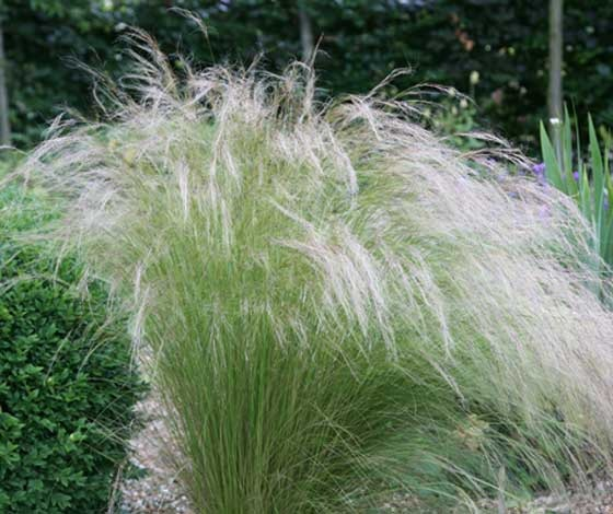 Купить семена, растение – Ковыль волосатик (Stipa capillata)