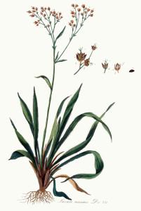 Купить семена, растение – Ожика большая (Luzula maxima)