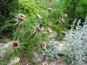 Купить семена, растение – Колючник бесстебельный (Carlina acaulis)