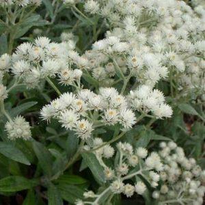 """Купить семена, растение – Анафалис """"Жемчужина"""" (Аnaphalis triplinervis)"""