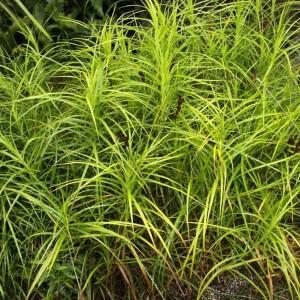 Купить семена, растение – Осока пальмолистная (Carex muskingumensis)