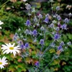 Купить семена, растение – Синеголовник плосколистный (Eryngium planum)