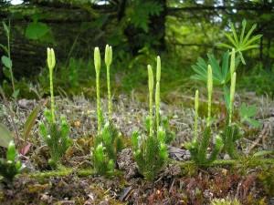 Купить семена, растение – Плаун булавовидный (Lycopodium clavatum)