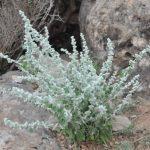 Купить семена, растение – Эрва шерстистая, пол-пала (Aerva lanata)