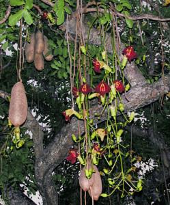 Купить семена, растение – Колбасное дерево (Kigelia africana)