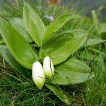 Купить семена, растение – Купена низкая (Polygonatum humile)