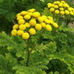 Купить семена, растение – Пижма курчавая Криспа (Tanacetum vulgare Crispa)