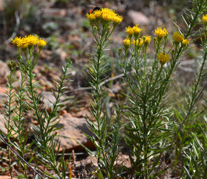 Купить семена, растение – Солонечник обыкновенный (Galatella linosyris)