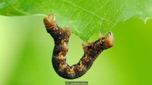 Гусеницы, подобные этой пестрой красавице (Erannis defoliaria), становятся приговором для листьев (фото: H. Lansdown / Alamy)