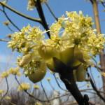 Купить семена, растение – Сассафрас Tzumu (Sassafras tzumu)