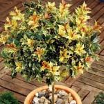Купить семена, растение – Османтус разнолистный Гошики (Osmanthus Heterophyllus Goshik)