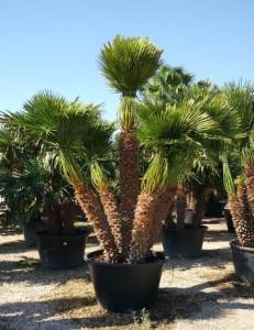 Купить семена, растение – Хамеропс Приземистый (Chamaerops humilis)