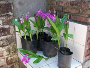 Купить семена, растение – Блетилла полосатая (Bletilla striata)