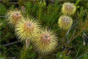 Купить семена, растение – Банксия вересколистная (Banksia Pulchella)