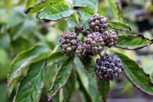 Купить семена, растение – Акантопанакс сидячецветковый (Acanthopanax sessiliflonis)
