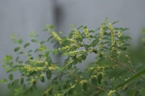 Купить семена, растение – Флюгея полукустарниковая (Flueggea suffruticosa)