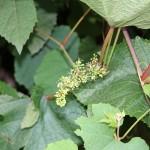 Купить семена, растение – Виноград амурский (Vitis amurensis)