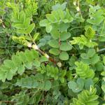 Купить семена, растение – Астрагал солодколистный (Astragalus glycyphyllos)