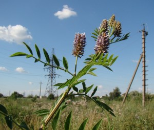Купить семена, растение – Солодка македонская (Glycyrrhiza macedonica)