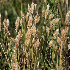 Купить семена, растение – Душистый колосок альпийский (Anthoxanthum alpinum)