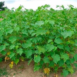 Купить семена, растение – Канатник Теофраста (Abutilon theophrasti)