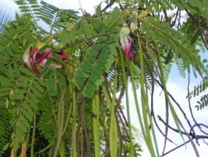 Купить семена, растение – Сесбания Крупноцветковая (Sesbania grandiflora)
