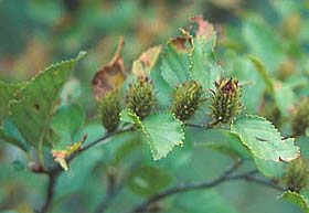 Купить семена, растение – Береза китайская (Betula chinensis)