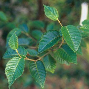 Купить семена, растение – Береза белая китайская (Betula albosinensis)