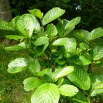 Купить семена, растение – Меза серебристая (Maesa argentea)