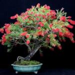 Купить семена, растение – Каллистемон жесткий (Callistemon rigidus)