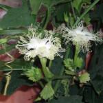 Купить семена, растение – Трихозант Кириллова (Trichosanthes kirilowii)
