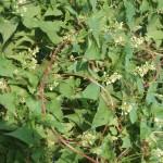Купить семена, растение – Горец многоцветковый (Fallopia multiflora)