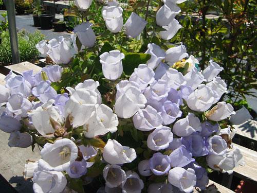 Купить семена, растение – Колокольчик согнутый (Campanula incurva)