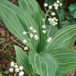 Купить семена, растение – Ландыш Альбостриата (Convallaria Albostriata)