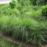 Купить семена, растение – Споробол раскидистый (Sporobolus heterolepis)