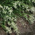 Купить семена, растение – Ожика ожиковидная (Luzula luzuloides)