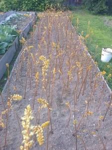 Купить семена, растение – Гастродия высокая (Gastrodia elata)