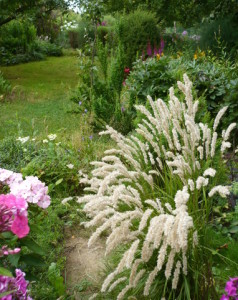 Купить семена, растение – Перловник трансильванский (Melica transsilvanica)
