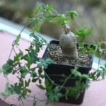 Купить семена, растение – Кедростис Лелоэ (Kedrostis leloja)