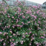 Купить семена, растение – Снежноягодник розовый (Symphoricarpos orbiculatus)